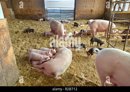 Hog farm,  Yorkshire Berkshire X   'Sus Scrofa domesticus', mothers raising young, piglets nursing, roaming in enclosed barn pen. - Stock Photo