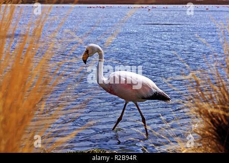 One flamingo in the wild at laguna Hedionda (stinky lake) Bolivia