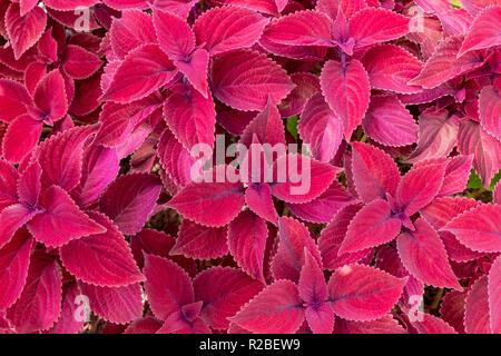 'Redhead' coleus (Plectranthus scutellarioides) - Pembroke Pines, Florida, USA - Stock Photo