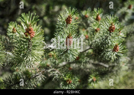 Closeup of a fresh smelling fir tree branches in the woods springtime in sunlight with green prickly needles and new brown cone buds on the tip - Stock Photo
