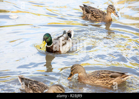 Ducks swimming in water with ripples at WWT Washington - Stock Photo