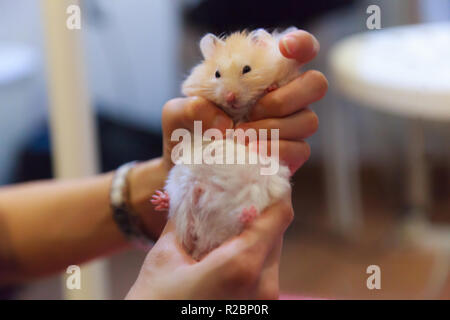Cute Fluffy Exotic Young Orange White Syrian Golden Hamster (Mesocricetus auratus) stays still in girl's hand. Putty in hands, idiom. Human pet friend - Stock Photo