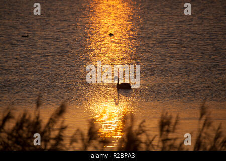 Swan on a lake during a golden sunset - Stock Photo