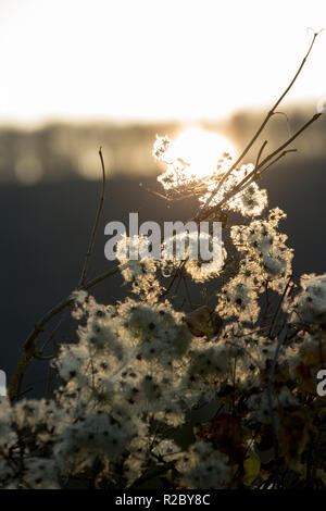 Traveller's Joy, also known as Old Man's Beard, Clematis vitalba, growing in hedgerows along the sides of the Dorset Trailway route in November as the - Stock Photo