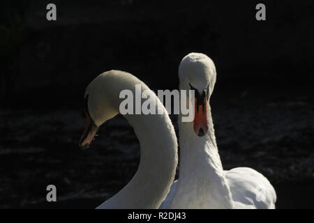 swans, birds, waterfowl, uk - Stock Photo