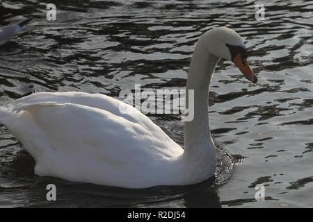 swans, birds, waterfowl, uk - Stock Photo