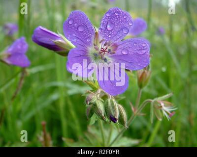 meadow cranesbill - Stock Photo