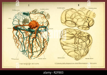 Vintage color table of anatomy, human heart muscular fibers and blood circulation with  anatomical descriptions in italian - Stock Photo