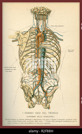Vintage color table of anatomy, abdomen large blood vessels with skeleton, Italian anatomical descriptions - Stock Photo