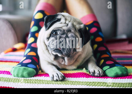funny concept of friendship forever with happy young girl with crazy colored socks and creamy pug dog in the middle of her legs laying and looking curiously at the camera. protect and friends concept at home - Stock Photo