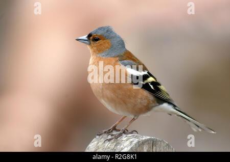in breeding plumage - Stock Photo