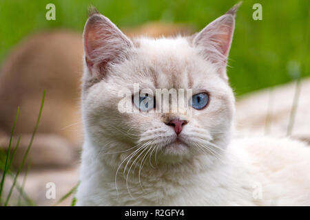 Portrait of white British cat with blue eyes, head of color point cat with blue eyes pink nose and tassels on the ears - Stock Photo