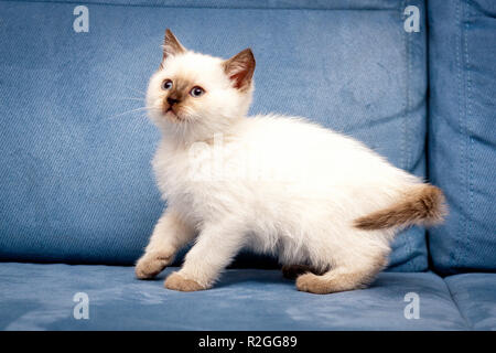 Cute chocolate color point British kitten with blue eyes stands tall on a blue background, white British kitten with chocolate spots, chocolate color  - Stock Photo
