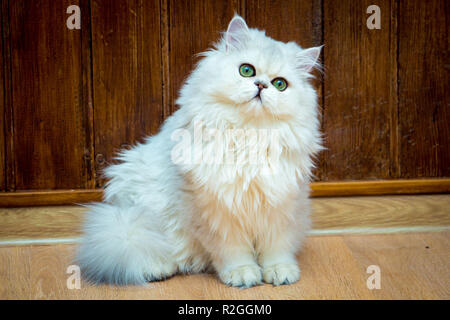 Fluffy long-haired British cat of silver color with green eyes sits and looks at the camera - Stock Photo