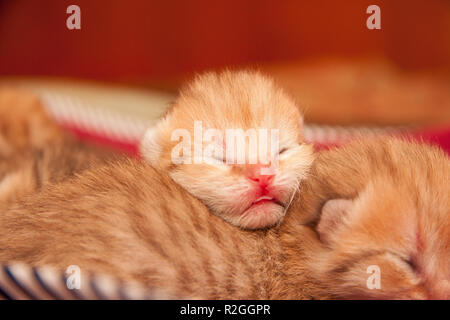 The head of a very small newborn Golden British kitten with unopened eyes after birth, a pink nose and a protruding tip of the tongue lies on the back - Stock Photo