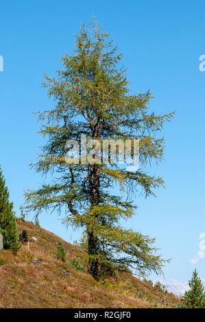 Pine tree Photographed on Elfer Mountain, Stubai Valley, Tyrol, Austria in September - Stock Photo