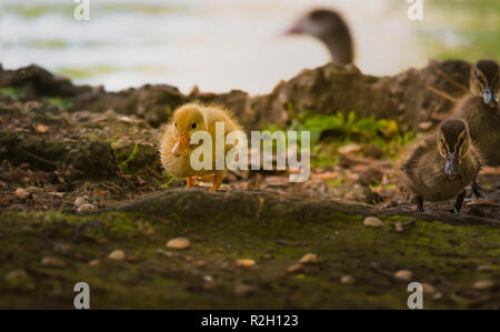 Ducklings are in a park by a pond - Stock Photo