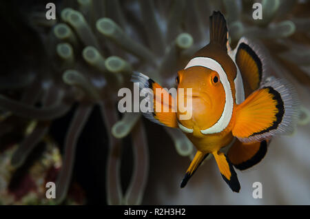 The ocellaris clownfish (Amphiprion ocellaris), also known as the false percula clownfish or common clownfish.