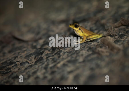 A male Stony-creek Frog hops its way towards the water for an evening drink in the rainforest near Kuranda, Queensland, Australia. - Stock Photo