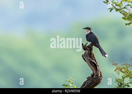 Jacobin cuckoo - Stock Photo