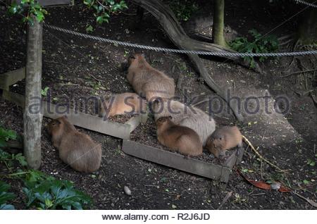 Capybara (Hydrochoerus hydrochaeris) Capybaras group sleeping on the ground, animals in Auckland zoo, world's largest rodents - Stock Photo