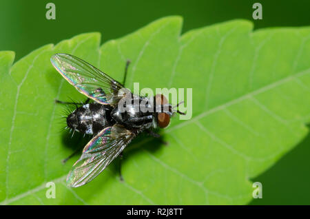 Tachinid Fly, Family Tachinidae - Stock Photo