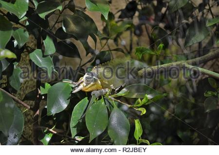 rare three horned Jackson's chameleon (Trioceros jacksonii) sits on a branch between green leaves, colorful reptile with three horns - Stock Photo