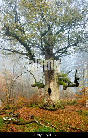 Germany, Hesse, Sababurg, Reinhardswald, common oak 'Kamineiche', a huge old mossy gnarled oak in a former pastoral forest in autumn, fog - Stock Photo