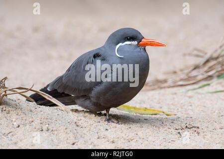 Inca tern (Larosterna inca) on the beach, native to Chile, Colombia, Ecuador and Peru - Stock Photo