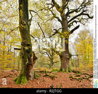 Germany, Hesse, Sababurg, Reinhardswald, Huge old mossy gnarled oaks and beeches in a former pastoral forest in autumn - Stock Photo