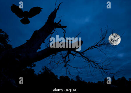 Eagle owl (Bubo bubo) landing in creepy branches and trunk of dead tree silhouetted against blue night sky with full moon over spooky forest - Stock Photo