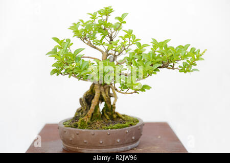 Wild privet (Ligustrum vulgare) bonsai on a wooden table and white background - Stock Photo