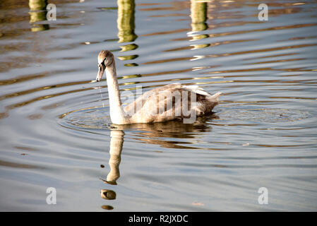 A Beautiful Cygnet Mute Swan Swimming and Looking for Food on Lake Windermere near Bowness Lake District National Park Cumbria England United Kingdom - Stock Photo