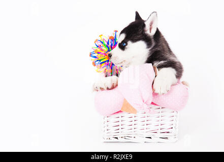Puppy of an Siberian husky sitting in a basket in the studio on a white background. - Stock Photo