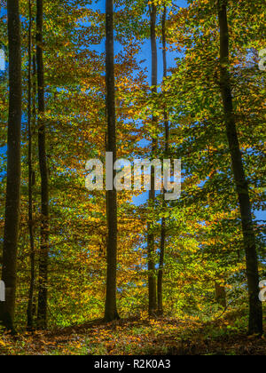 Colored beech forest in autumn - autumn coloration, Bavaria Germany, Europe - Stock Photo
