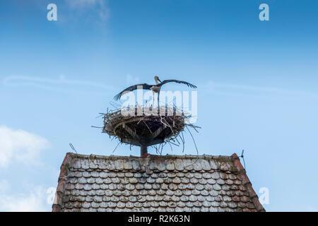 White Stork (Ciconia ciconia) on nest - Stock Photo