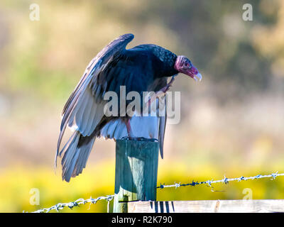 A turkey vulture, Cathartes aura, perches on a fence post in northwest Louisiana. - Stock Photo