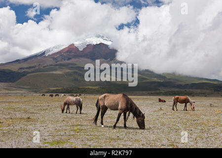 Wild Horses grazing near Cotopaxi, Cotopaxi National Park, Galapagos, Ecuador - Stock Photo