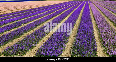 Blooming purple and pink hyacinths in rows on a field near Amsterdam, April - Stock Photo