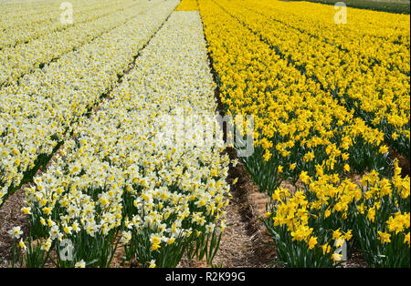 Blooming yellow daffodils in rows on a field near Amsterdam, spring, flowers, botany, agriculture, business, season, Easter holidays, sunny - Stock Photo