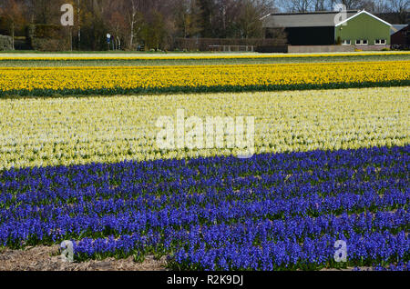 Blooming yellow and purple hyacinths on a field near Amsterdam, a traditional farm house in the background - Stock Photo