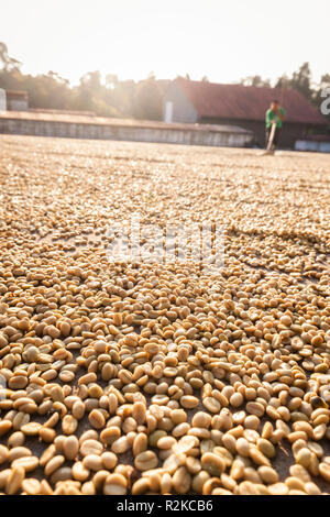 A worker makes rows of coffee beans during the drying process at Finca Hamburgo coffee plantation near Tapachula, Chiapas, Mexico. - Stock Photo