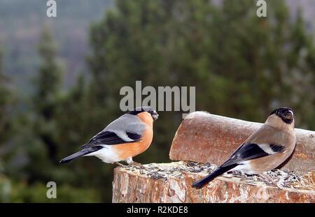 bullfinch-pair ii - Stock Photo