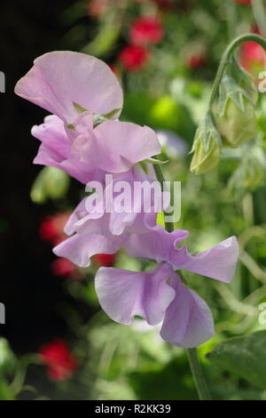 Lathyrus odoratus, Ethel Grace' a highly fragrant Spencer sweet pea - Stock Photo