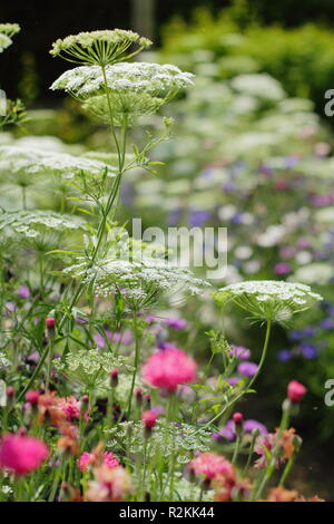 Ammi majus and centaurea cyanus. Queen Anne's Lace and blue cornflowers in the summer border of an English cutting garden, UK Stock Photo