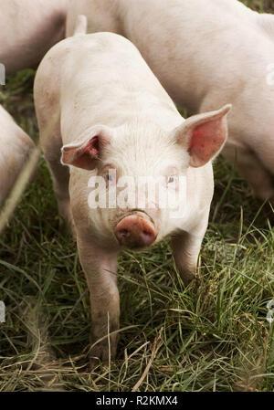 piglet - Stock Photo