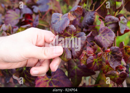 Close up on hand of white man grabbing dried and old leaf of grape-bearing vines, symbolizing fall and end of harvest. - Stock Photo