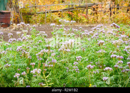 Purple flowers of Phacelia - Stock Photo