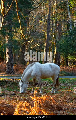 Grey New Forest pony grazing on heathland in the New Forest, Hampshire, England, UK - Stock Photo