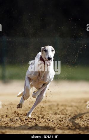 chart polski - polish greyhounds breed - Stock Photo
